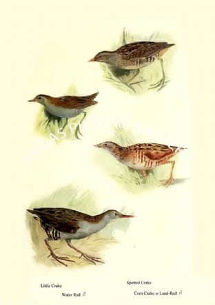 Little Crake, Water Rail, Spotted Crake & Corn Crake or Land- Rail